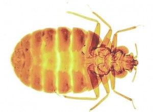 Bed Bug Control Shotgate