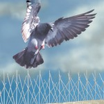 bird-spikes-with-pigeon