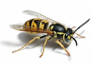 Wasp Nest Removal Southend