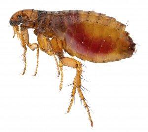 flea control Southend