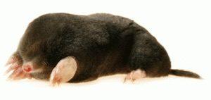 Mole Control Southend