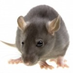 Rat Control Southend