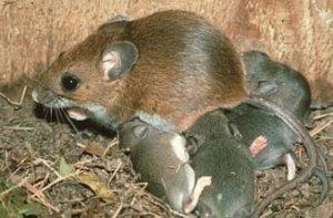 Mice control southend