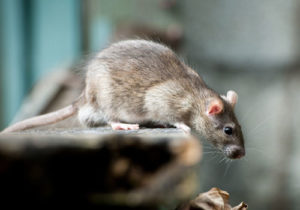 rodent control Southend on sea