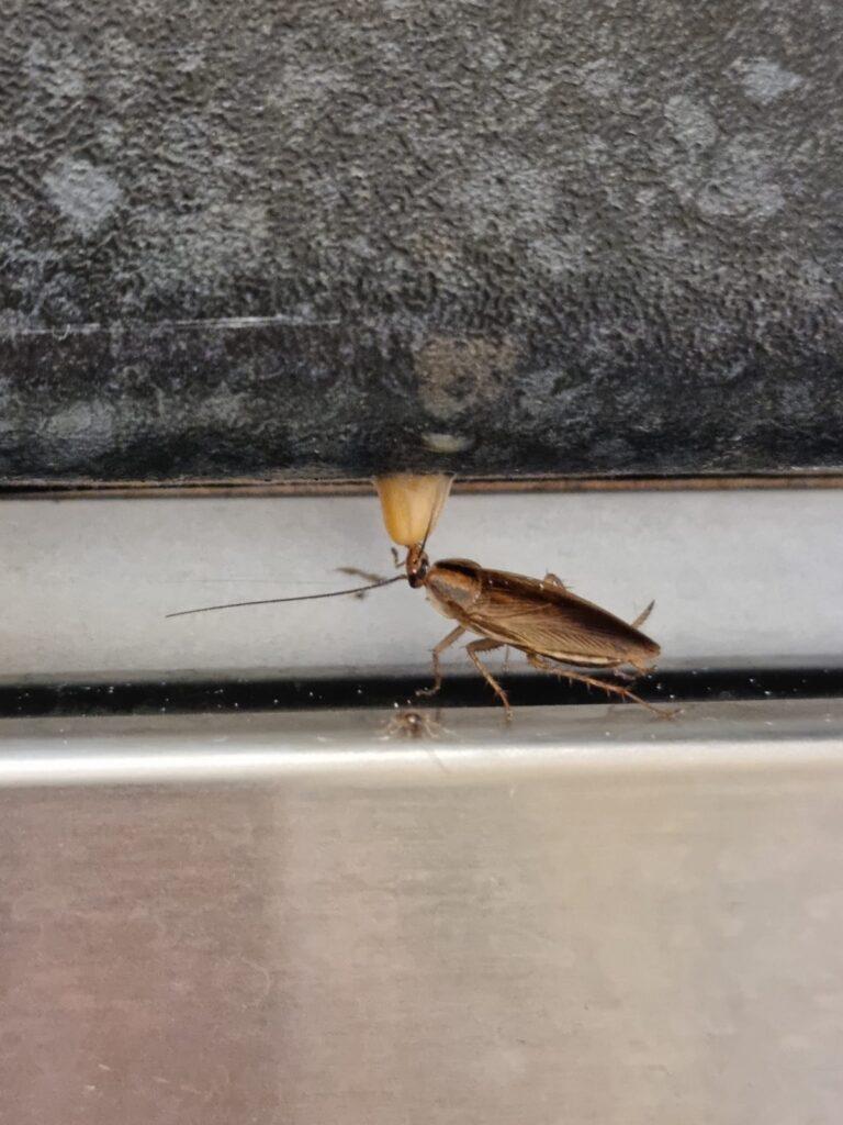 Cockroach Control Essex